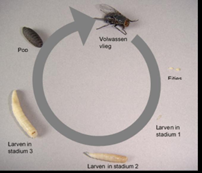 De cyclus die een vlieg doormaakt.© GF