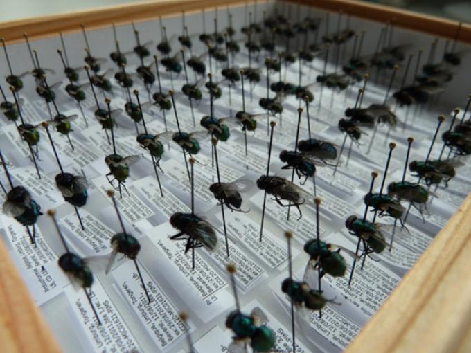 Geïdentificeerde vliegen worden in het lab bewaard.© GF