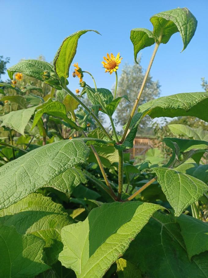 In bloei heeft de Yacon kleine zonnebloemetjes. Beide planten zijn dan ook van dezelfde familie.