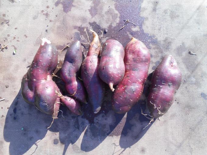 Eén plant kan drie tot vijf kilogram knollen voortbrengen.