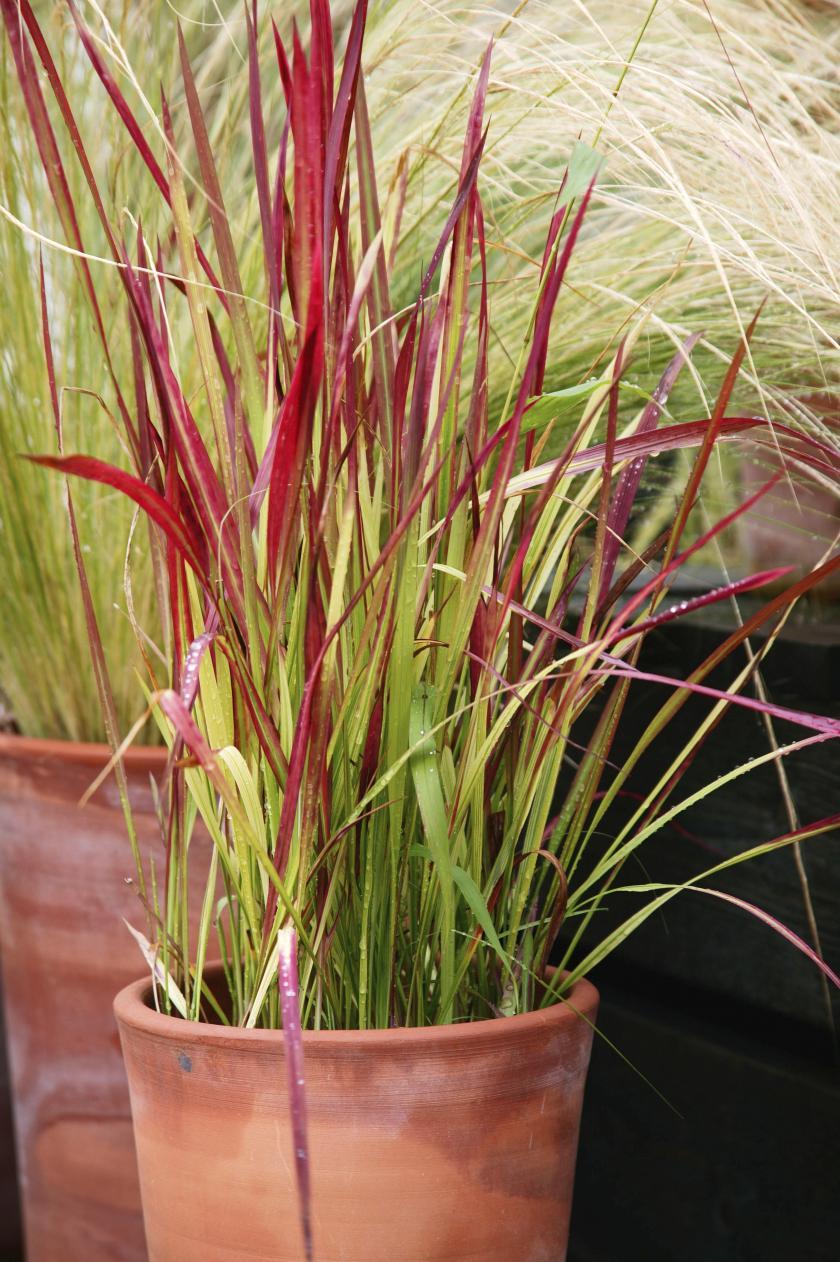 """Red Baron"" (imperata cylindrica),Feuilles en feu"