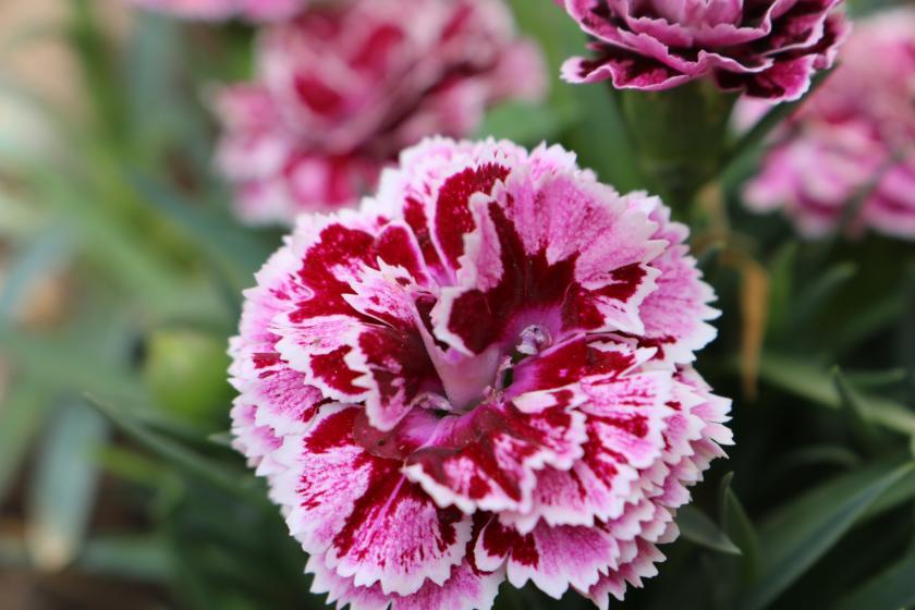Oeillet, la fleur symbole de la fête des mères