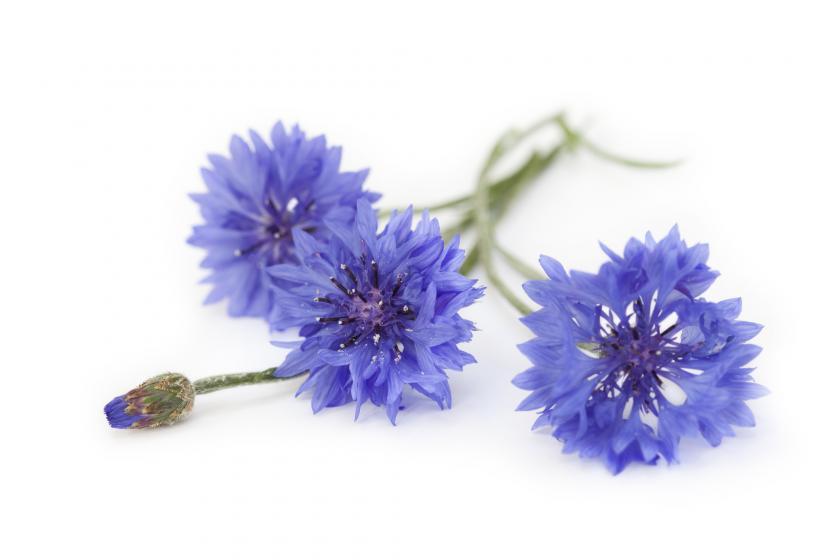 Le bleuet, la fleur des timides à offrir à la fête des mères