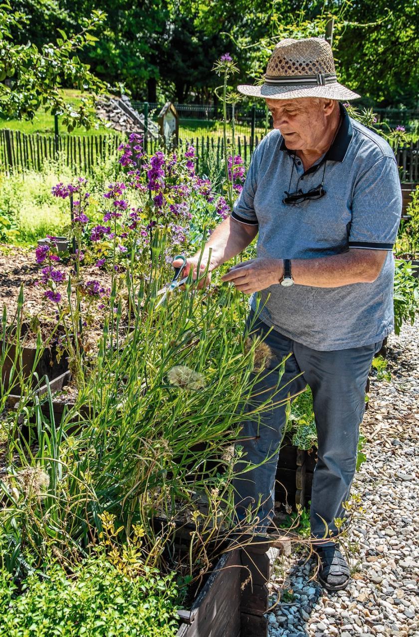 José Veys (Les jardins de Pomone) récolte des graines de salsifis à feuilles de poireaux.