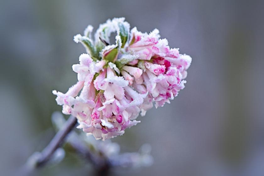 peperboom