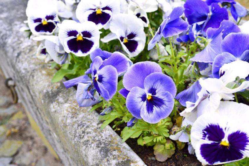 viooltjes bloembak