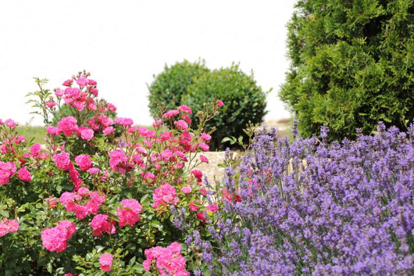 rozen planten lavendel