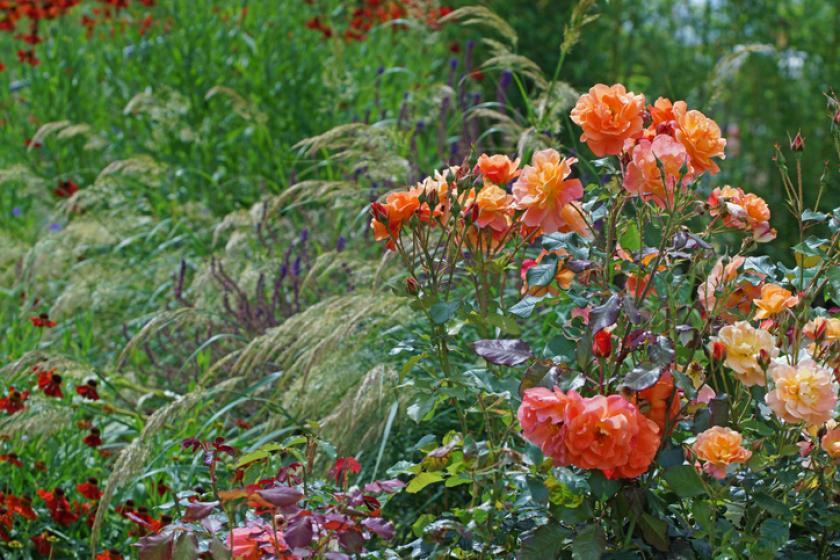 rozen planten siergrassen