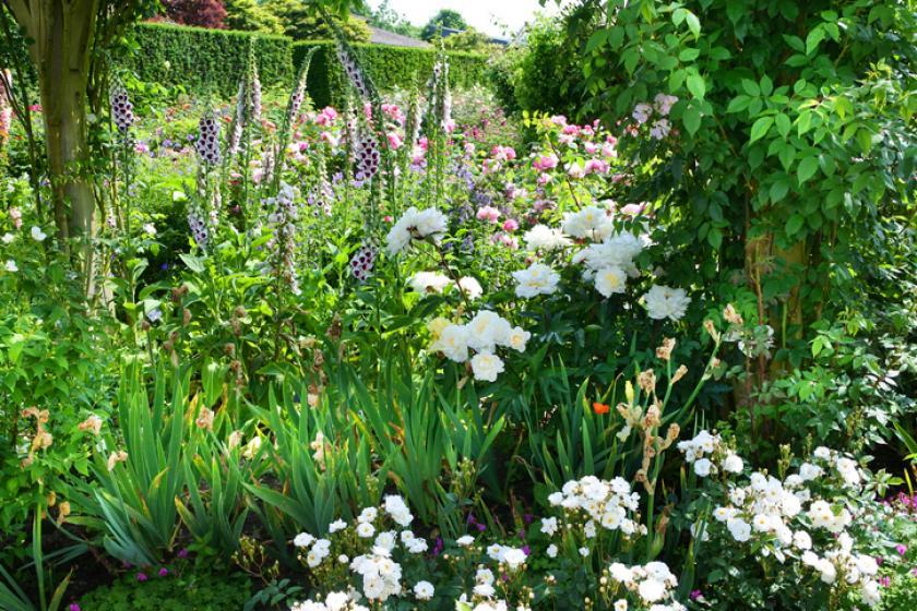 vingerhoedskruid rozen planten
