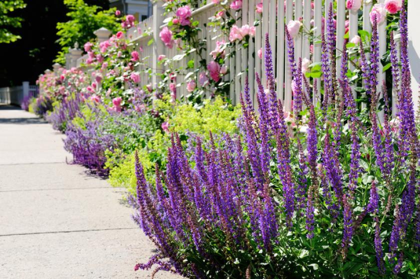 kranssalie rozen planten