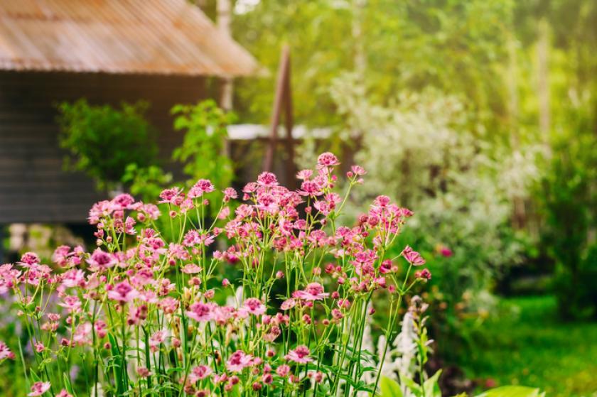 Astrantia rozen planten