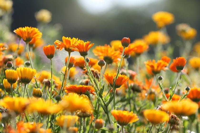 goudsbloem tuin