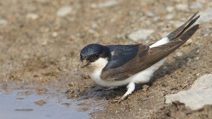 zwaluwen (huiszwaluw)