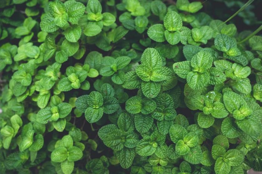 tuinkruiden