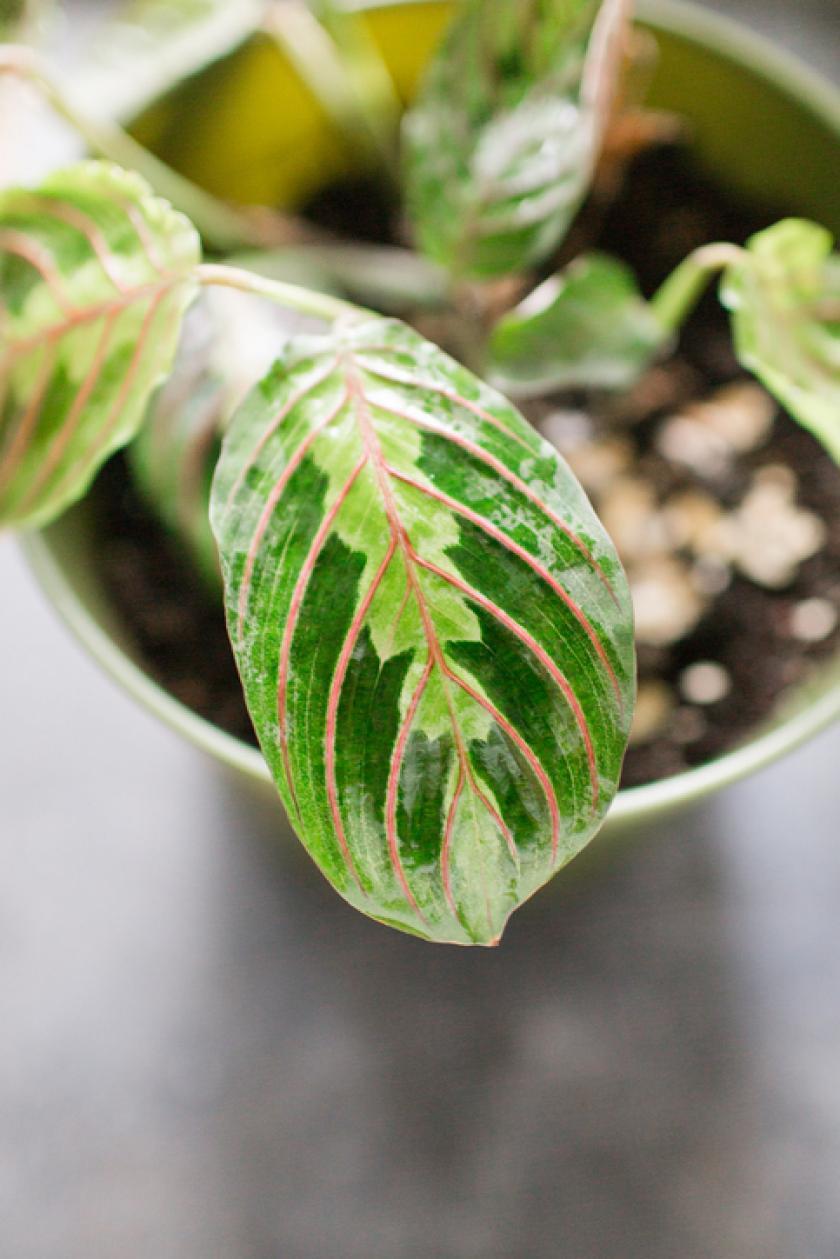 maranta kamerplant