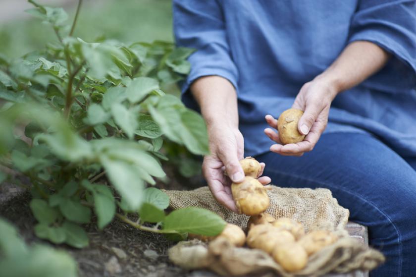aardappelen moestuin