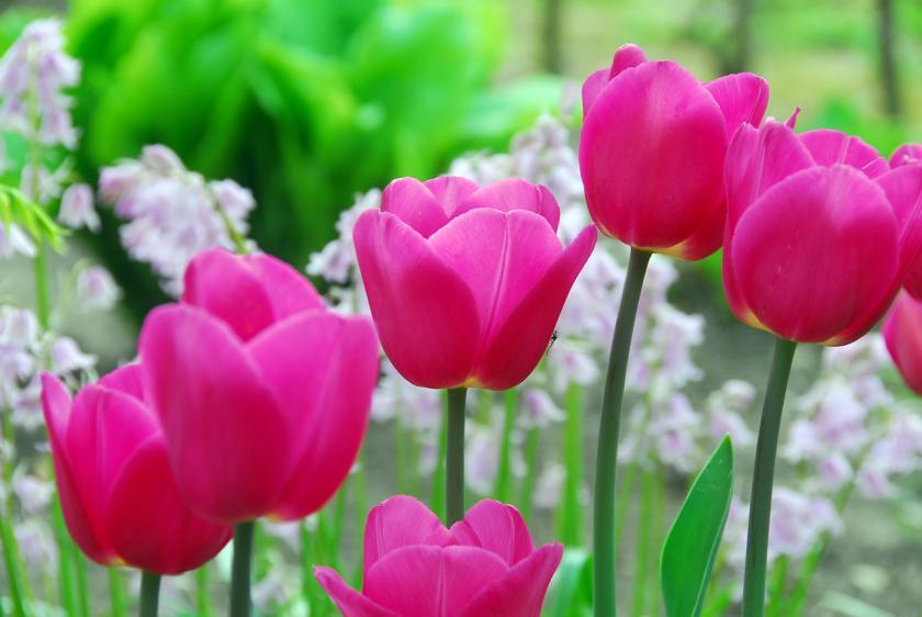 tulpen tips