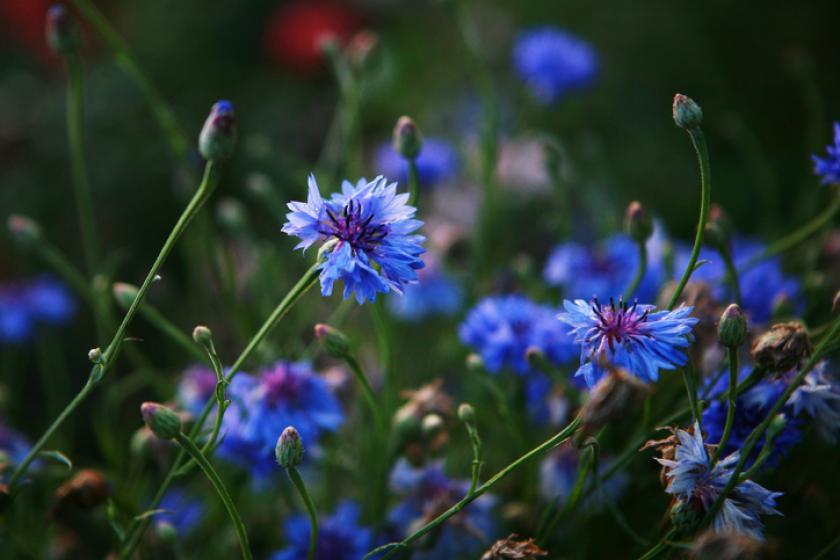 blauwe korenbloem