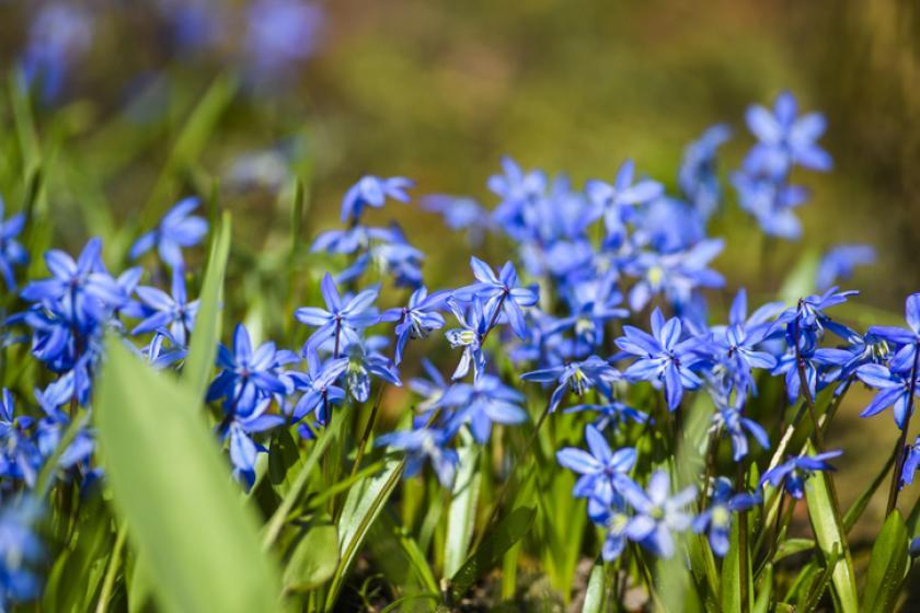 sneeuwroem blauwe bloemen