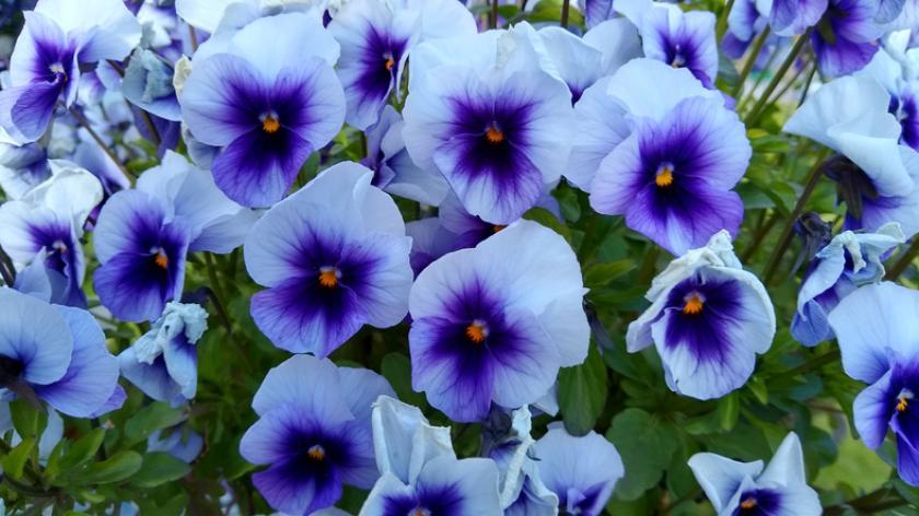 blauwe viooltjes