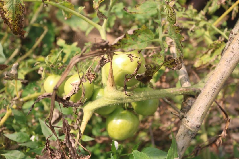tomatenplaag herkennen