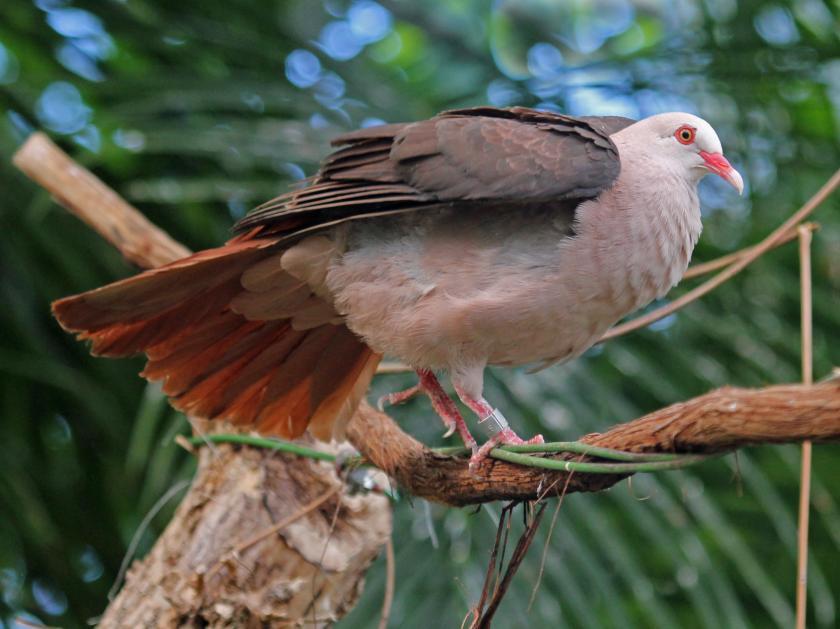 roze duif mauritiusduif