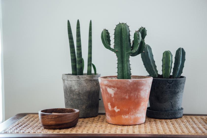 cactussen verzorgen