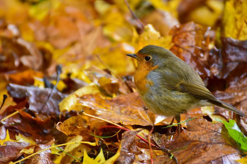 roodborstje tuin vogel