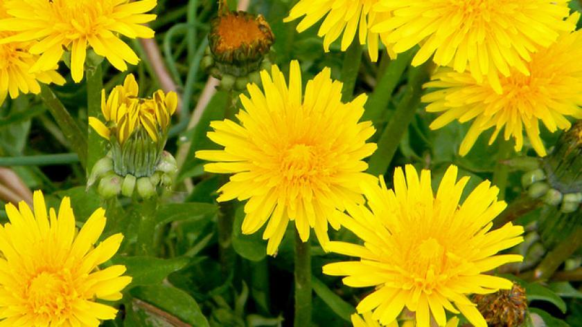 Nettle, our friend in the garden!  The dandelion too ... - Women of ...