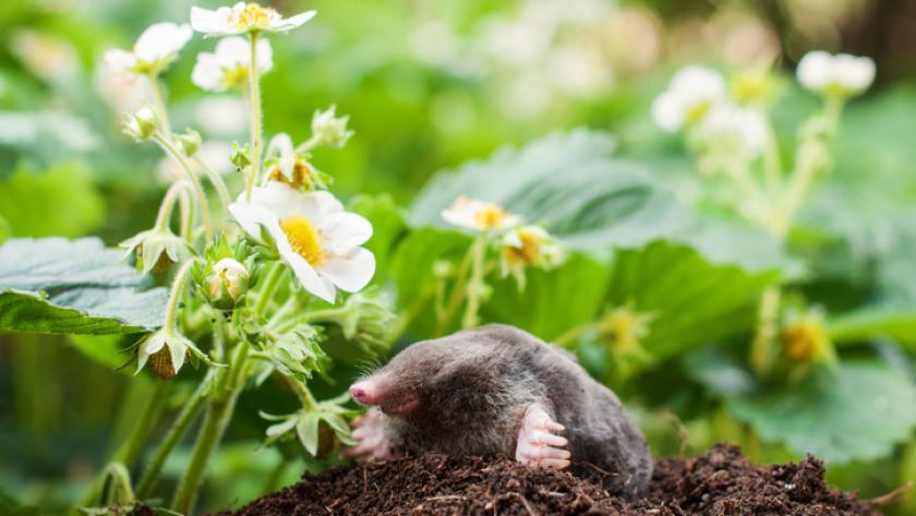 Mol Bestrijden Tuin : Mollen in de tuin dit kun je doen libelle