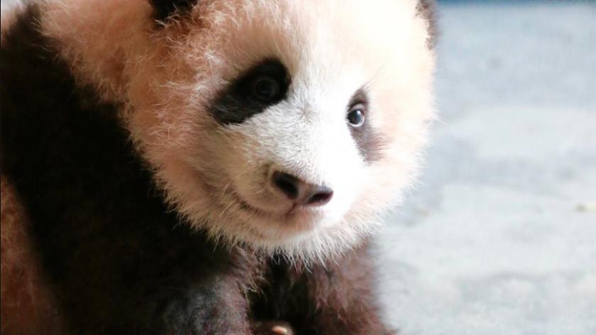 Tian Bao Le Bébé Panda De Pairi Daiza Fête Son Premier