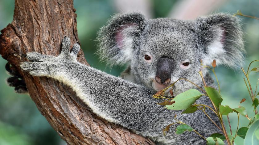 Video Trop Mignonne Le Bebe Koala Du Zoo D Anvers Filme