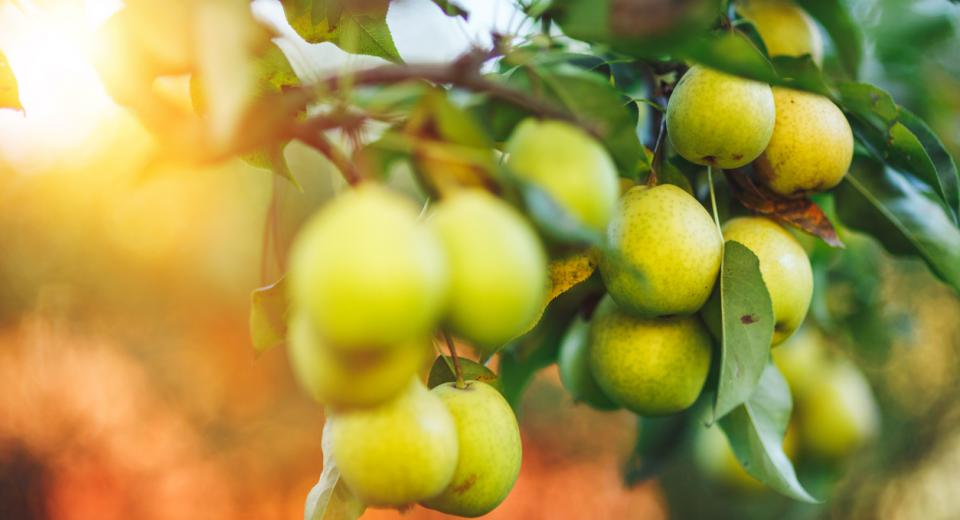 Pommes et poires: quand et comment peut-on les cueillir et les conserver?