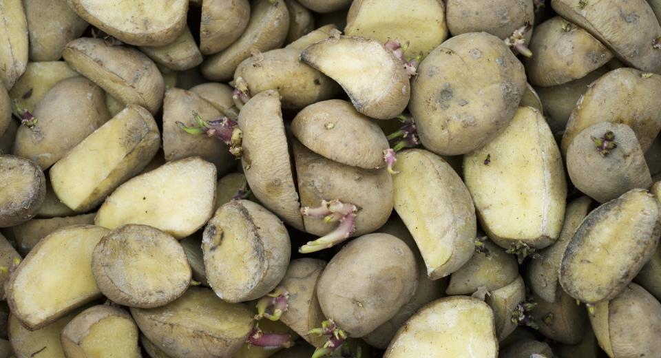 Moet je een aardappel met uitlopers weggooien?
