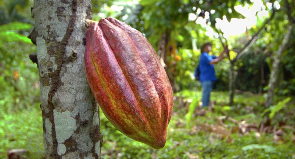 In het spoor van cacao