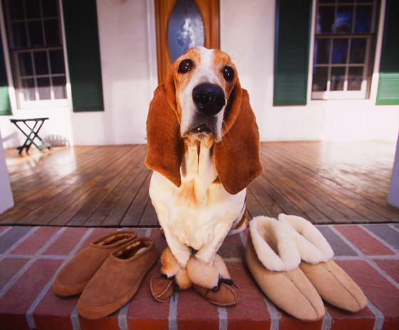 Hondenrassen Basset